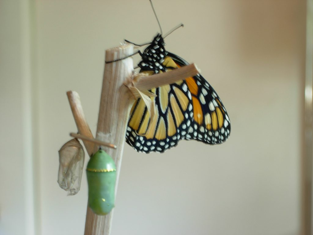 Monarch chrysalis and butterfly