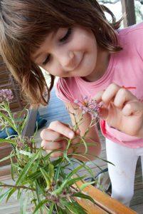 Mayan Martin inspects Monarch caterpillars on Swamp Milkweed