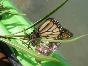 Spider Eats Monarch Butterfly