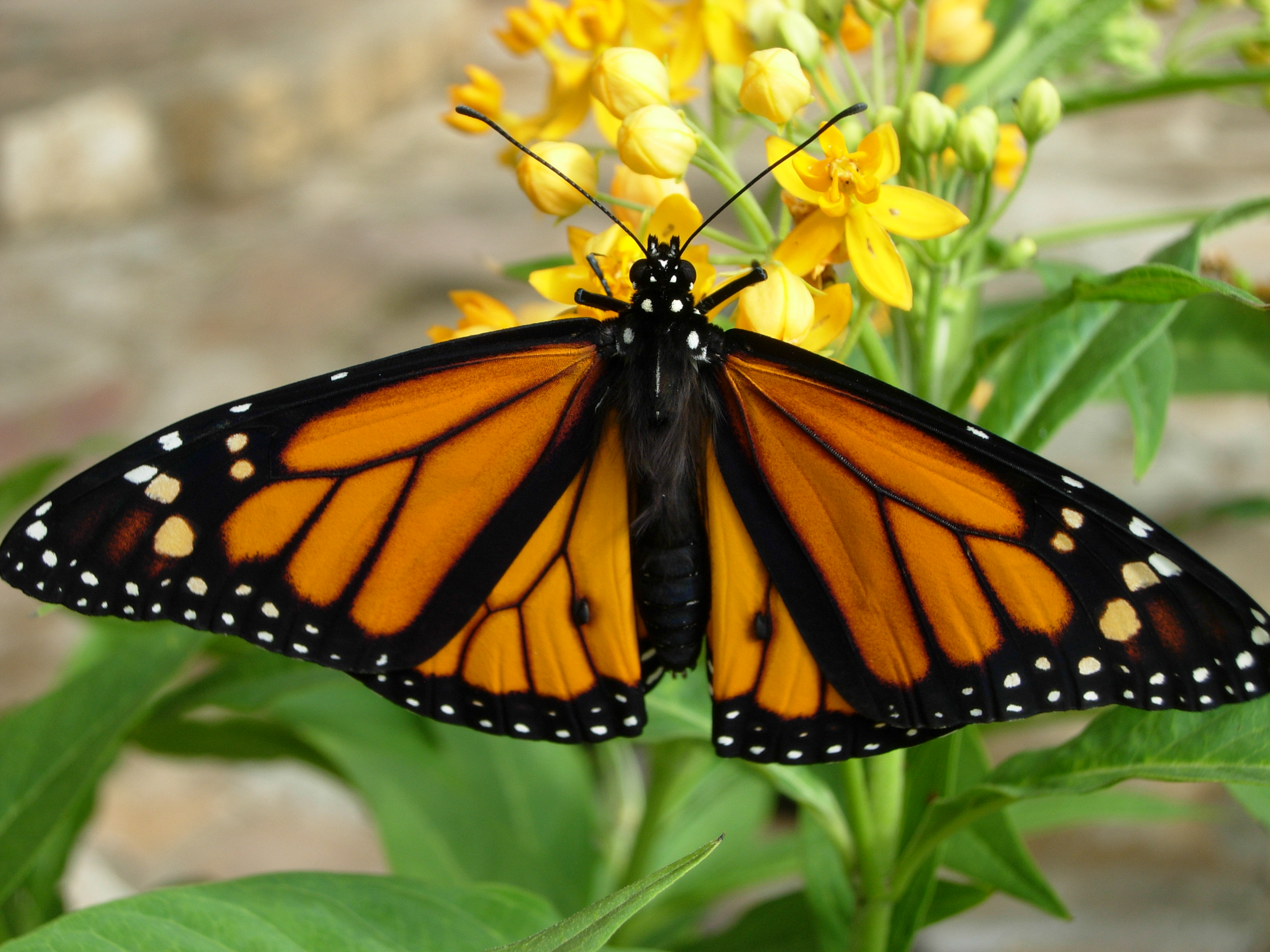 Monarch Butterfly Annual Cycle monthbymonth where are