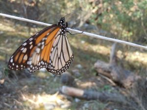 Monarch butterfly in MIchoacan, Mexico