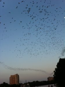 Bats on Congress Ave. Brid?ge in Austin. Remind you of butterflies?
