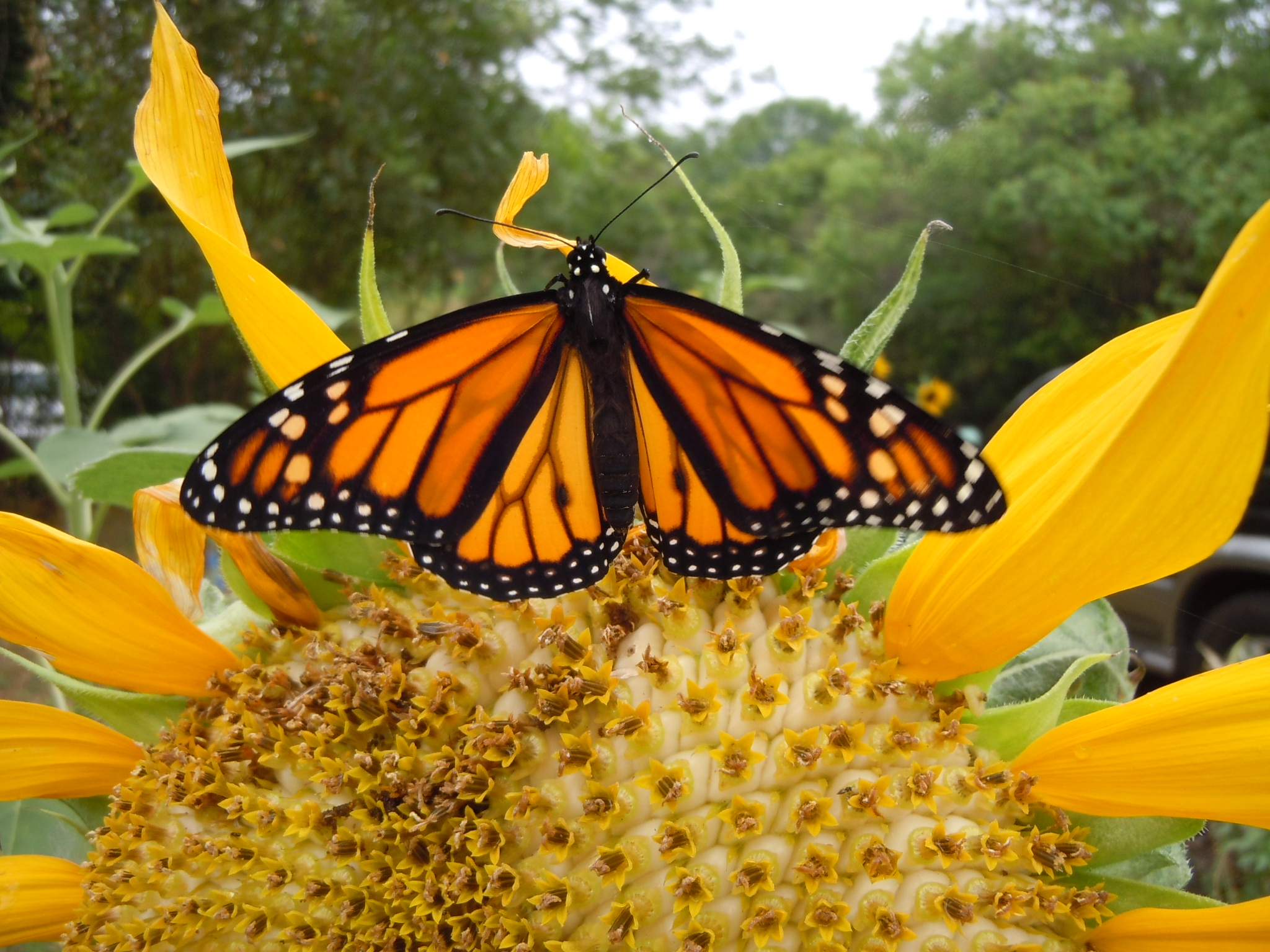 Monarch butterflies are on the move in Texas