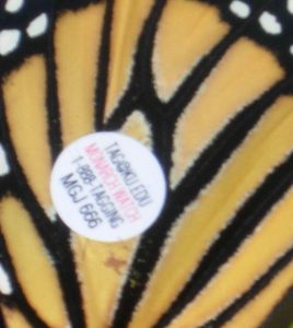 Tagged Monarch Wing