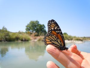 Handful of Monarchs on the Llano River