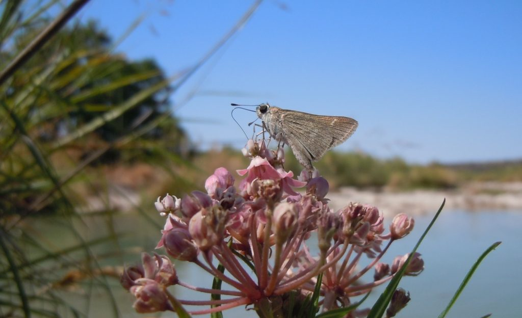 Skipper on Swamp Milkweed, Llano River