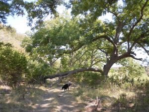 Monarch butterfly tree roost on Llano River
