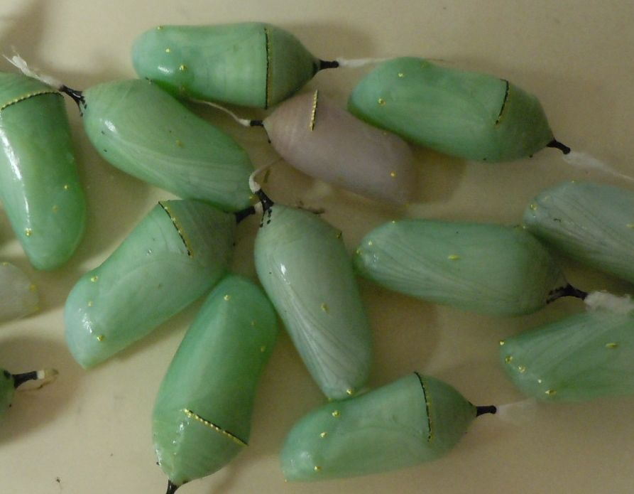 Queen and Monarch Chrysalises