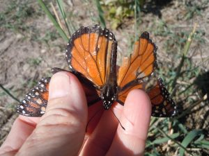 Damaged male Monarch butterfly--probably won't make it to Mexico