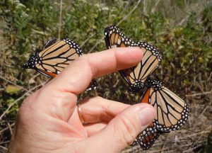 Lucky swing: three Monarch butterflies netted in one swoop on the Llano River