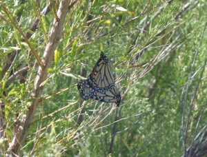 Monarch butterflies mating on the Llano River, 10/2/2011