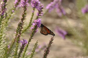 Monarch butterfly on Gayfeather at American Native Seed in Junction, TX