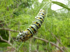 Swallowtail on Fennel