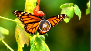Mike Quinn on the Monarch Butterfly Migration KSEE News