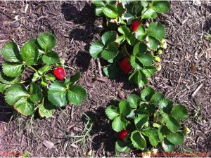 April 9, 2011 Strawberries coexist well with butterfly plants