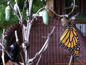 Jiminy chrysalis in April...Monarch butterflies in two stages