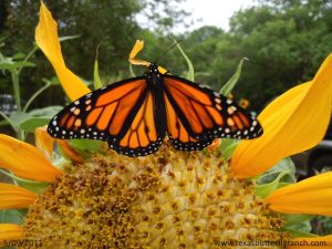 May 9, 2011: Monarch butterfly on sunflower