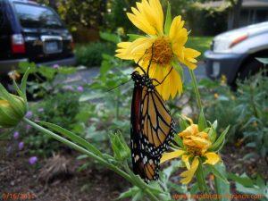 Monarch butterfly on Cowpen Daisy