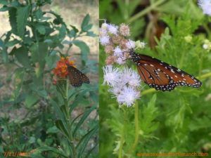 Queens on Purple Mistflower July 21, 2011