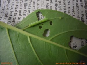 Sphinx moth caterpillar and egg on Jimsonweed leaf, August 25, 2011