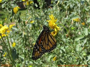 Migrating Monarch butterfly on Cowpen Daisy Sept. 29, 2011