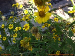 Cowpen Daisy flowers going to seed: grab 'em now for next year's butterfly garden