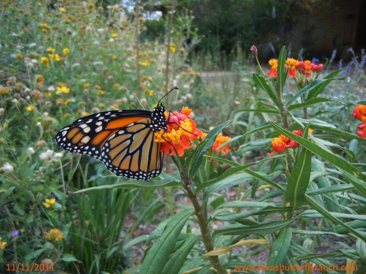 Monarch butterfly on milkweed, November, 11, 2011
