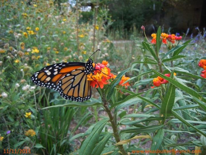 Monarch butterfly on milkweed, November, 11, 2011