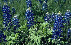 A wildflower bounty in 2012? We hope so.