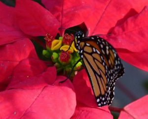 Monarch butterfly nectaring on Poinsettia, photo by Jill Staake