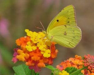 Sulphur butterfly on lantana, photo by hsny.org