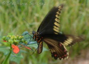 Swallowtail on Poinsettia in Florida, photo by Stephanie Sanchez