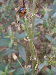 Milkweed beetle and Monarch caterpillar share a milkweed stem