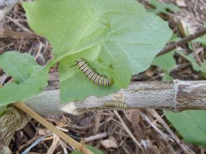 Monarch butterfly caterpillars in two stages