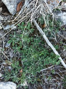 Bluebonnet rosettes are already showing in January