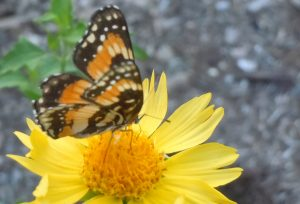 Bordered Patch butterfly: Quick change artist?