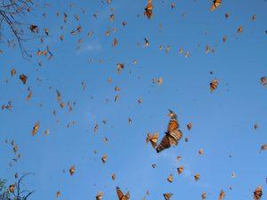 Monarch butterflies in Michoacan