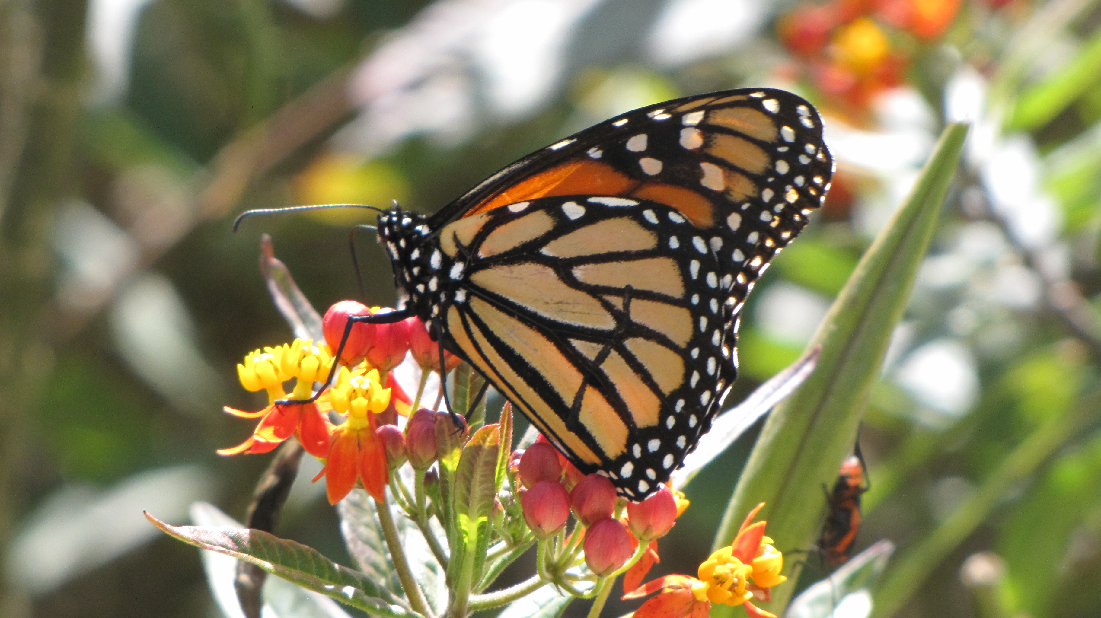 Yellow butterfly that looks like a monarch