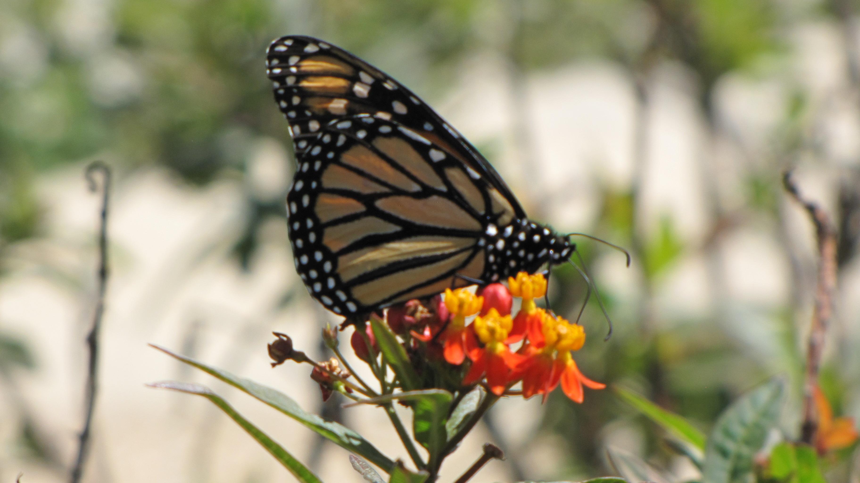 Queen, Monarch Caterpillars and Butterflies: How to Tell ...