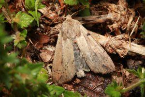 Armyworm Moth in Lawn