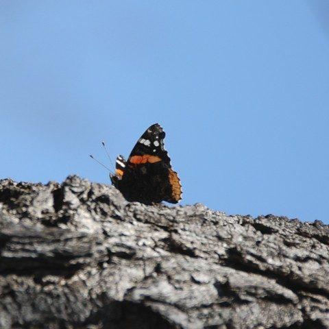 Red Admiral Slurping Sap on Burr Oak tree