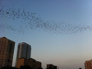 Congress Ave. Bridge bats were early this year