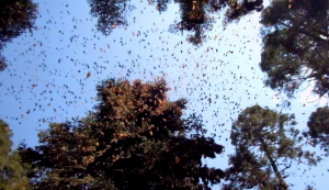 Monarch butterflies are leaving Michoacan and heading to....Texas!