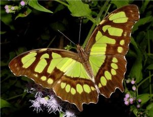 Malachite Butterfly looks like a green Monarch --photo courtesy NABA