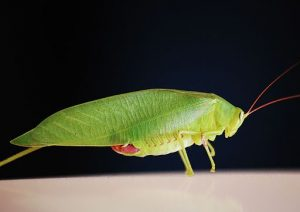 Katydid or Katydidn't? Insecta Fiesta to feature largest katydid in the world