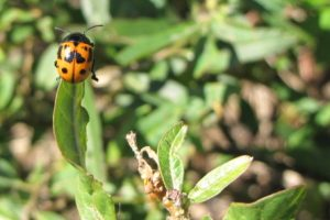 Milkweed Beetle at San Antonio River Museum Reach Milkweed Patch