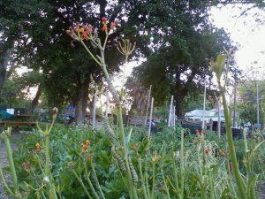 Fat and happy Monarch cats devoured Sharon Sander's milkweed
