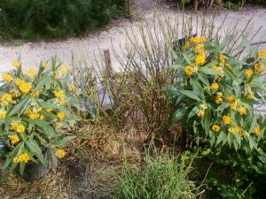Beautiful Asclepias Curassavica from Shades of Green turned out to be full of pesticides