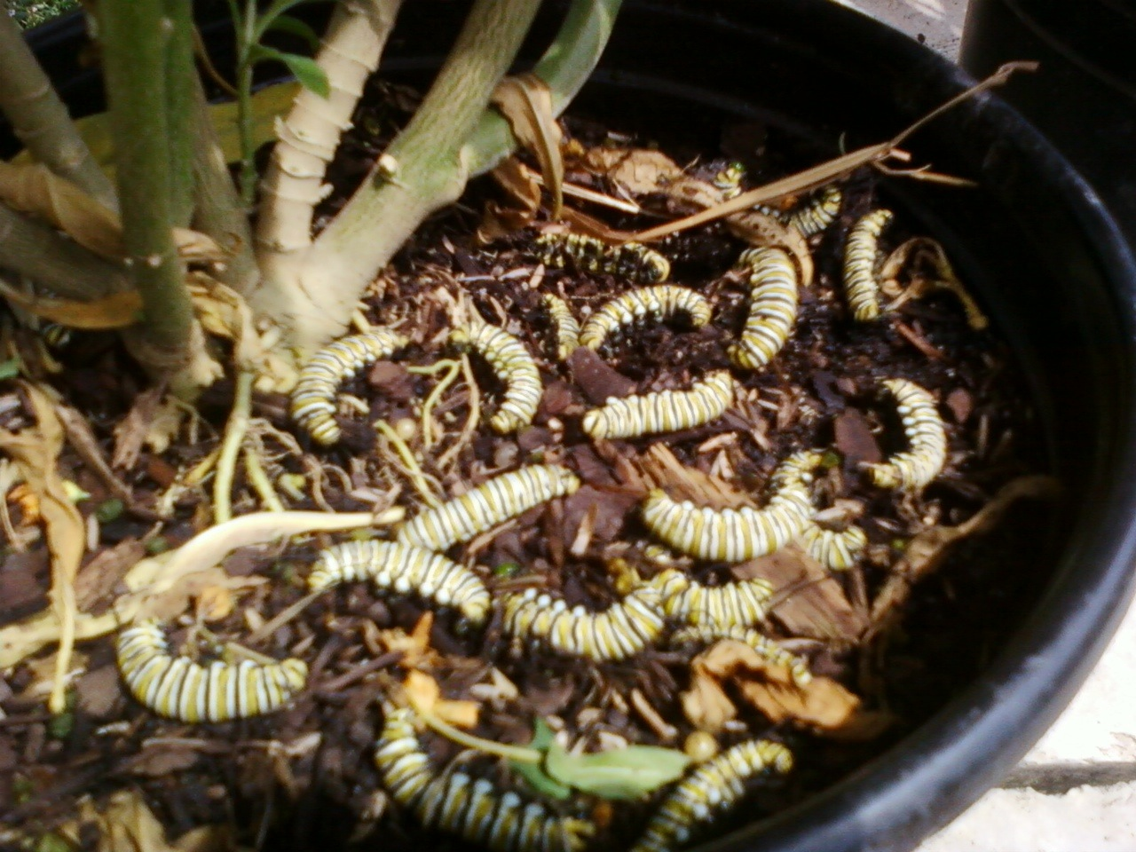 Boo-hoo! Dead Monarch caterpillars fall victim to pesticide laced milkweed