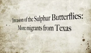 Banner year for butterflies, thank you, Texas!